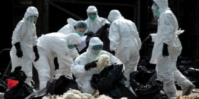 ظهور سلالة شديدة العدوى من انفلونزا الطيور في هولندا