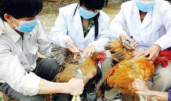 اليابان تقرر إتلاف 24 ألف من الدواجن…بسبب أنفلونزا الطيور