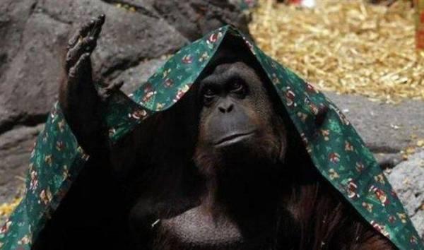 محكمة ارجنتينية تمنح حقوقا انسانية لقرد الأورانيوتان.