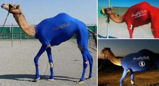 جِمال في الإمارات بلباس رياضي !