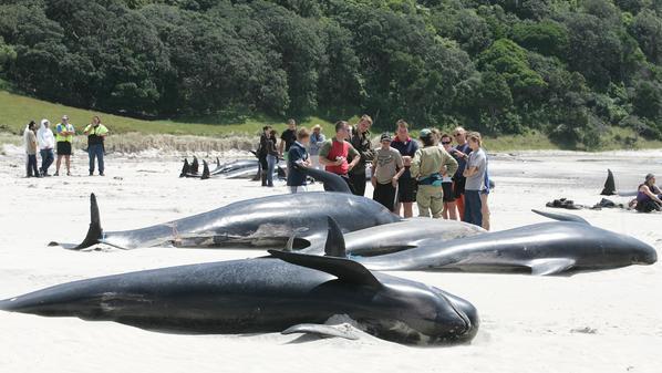 """""""حيتان طائرة"""" تجنح إلى شواطئ نيوزيلندا."""