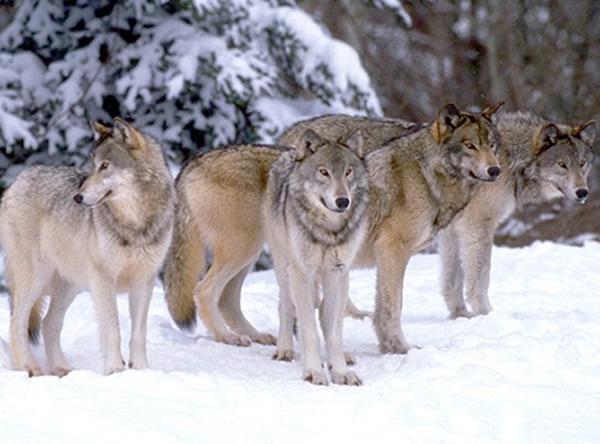 """الذئب الرمادي يعود إلى """"قائمة الانقراض"""""""
