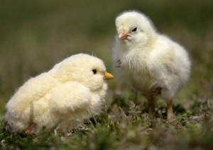 فرخ دجاج ينظر إلى فرخ شبيه به مصنوع من قبل صانع ألعاب
