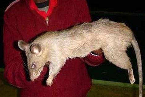 فئران ضخمة تلتهم رضيعة وتترك آثار أسنانها على بقايا جسدها