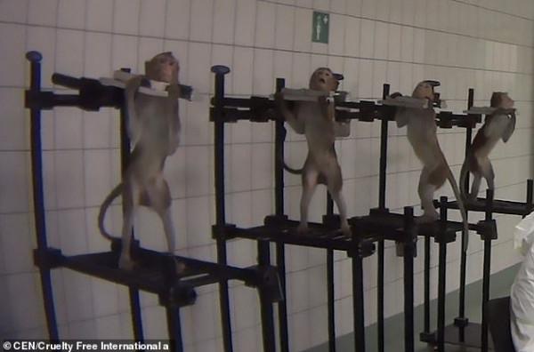 فيديو صادم لتعذيب قرود وكلاب داخل مختبر للسموم